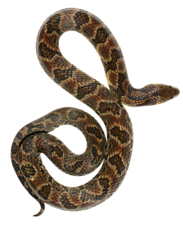 Фото №1 - Умеют ли змеи ползать задом?