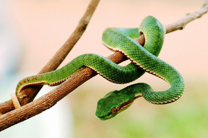 Фото №1 - Почему змеи не могут ползать задом, а двуходки могут?