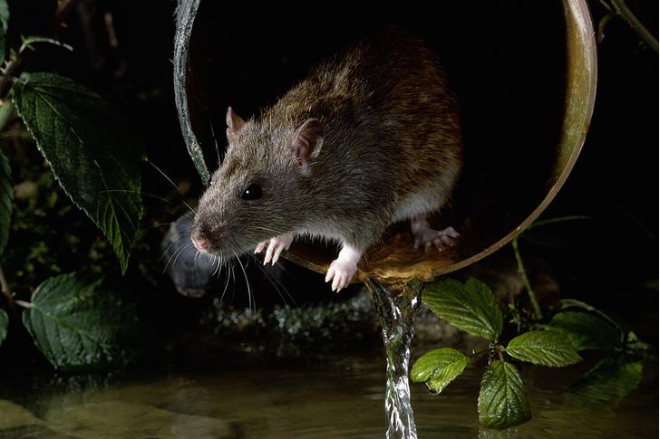 Фото №4 - Прогрызая путь: как устроено крысиное общество и чем оно похоже на человеческое
