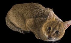 Чаузи: описание, особенности породы, правила содержания кошек