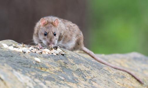 Фото №1 - Роспотребнадзор: Подвальная крыса может укусить, что делать