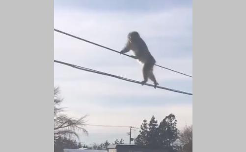 Фото №1 - В Японии обезьяны стали канатоходцами, чтобы не шагать по снегу