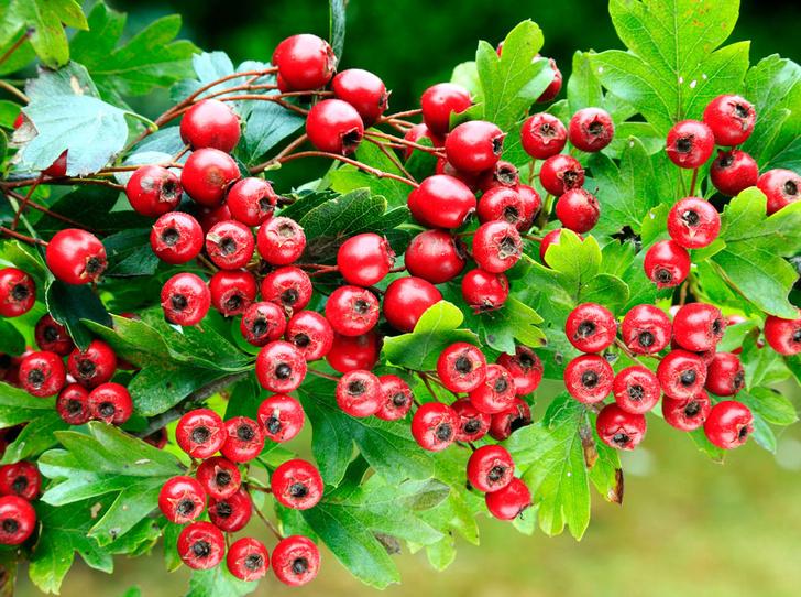 Фото №8 - В своем отечестве: самые полезные осенние ягоды