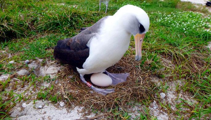 Фото №1 - Самая старая дикая птица снова стала мамой