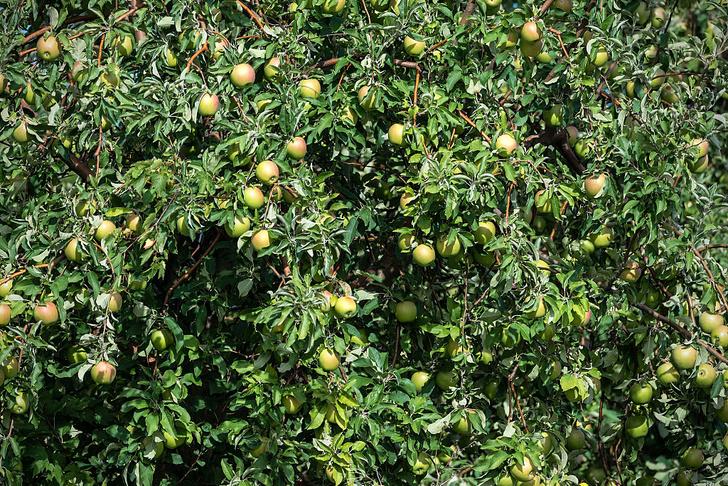 Фото №1 - Установлено происхождение домашних яблонь