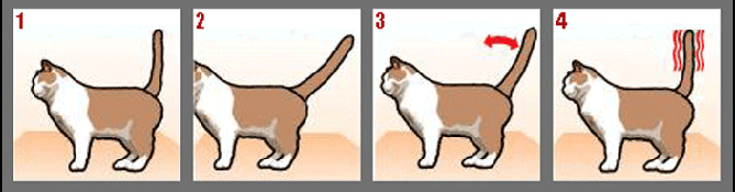 Фото №1 - Как понять кошку по хвосту