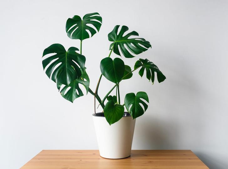 Фото №5 - Домашний доктор: 5 комнатных растений, которые защищают от вирусов