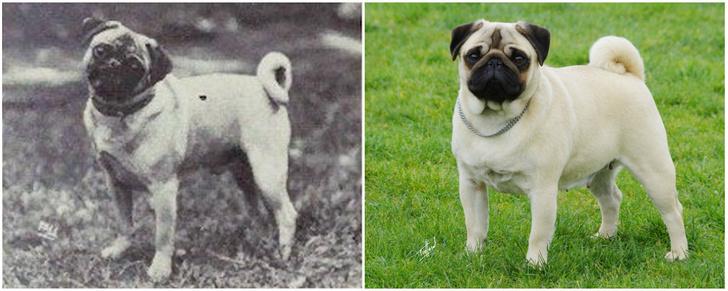 Фото №9 - Как изменились породы собак за 100 лет