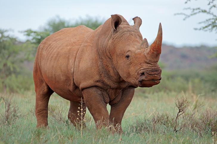 Фото №1 - За что ценят рог носорога?
