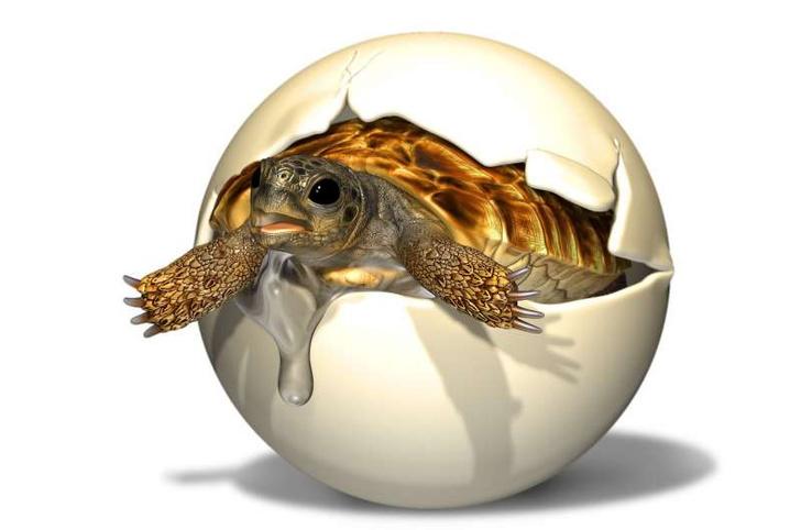 Фото №1 - В Китае нашли яйцо с зародышем гигантской черепахи