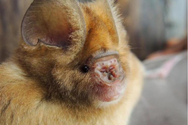 Фото №1 - Обнаружено четыре новых вида летучих мышей