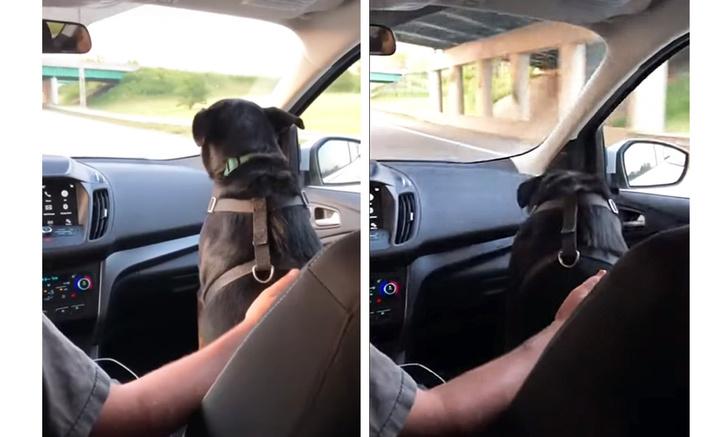 Фото №1 - Собака, сидящая в машине, пригибает голову при виде моста (видео)