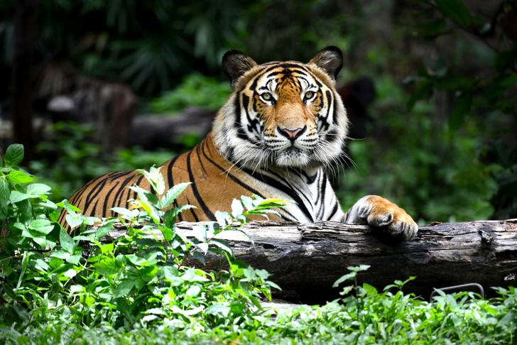 Фото №1 - Популяция тигров увеличилась впервые за последние 10 лет