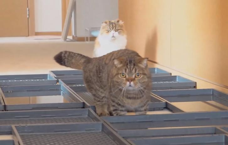 Фото №1 - Смогут ли коты пройти коридор, пол которого заставлен контейнерами с водой? (Видео)