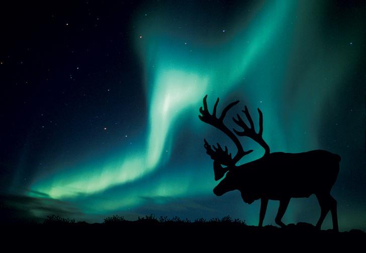 Фото №1 - Так вот ты какой, северный олень!