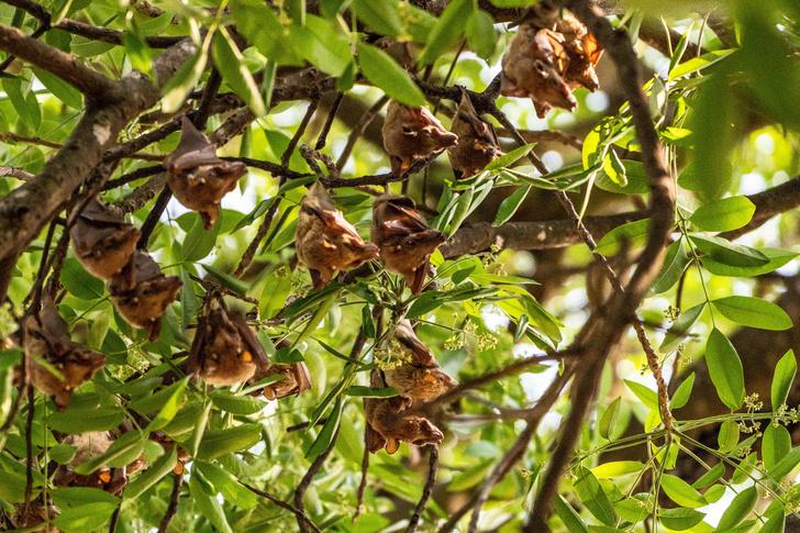 Фото №1 - Ученые оценили опасность летучих мышей