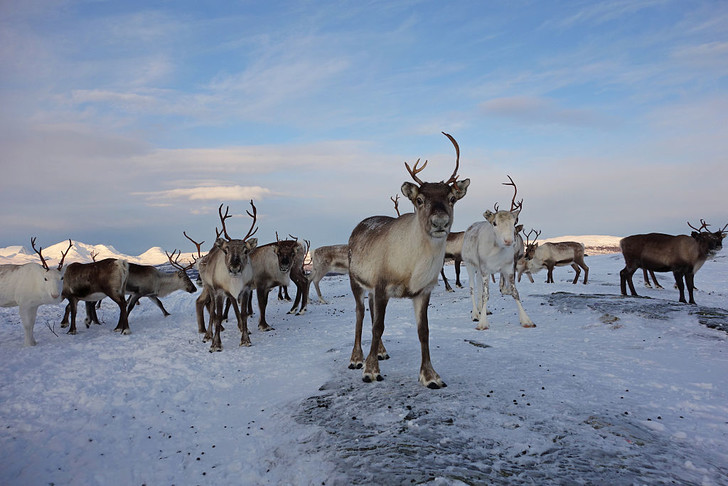 Фото №1 - В Норвегии отстреливают оленей из-за смертельной инфекции