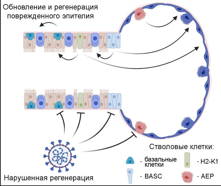 Фото №1 - Стволовые клетки могут быть чувствительны к SARS-CoV-2