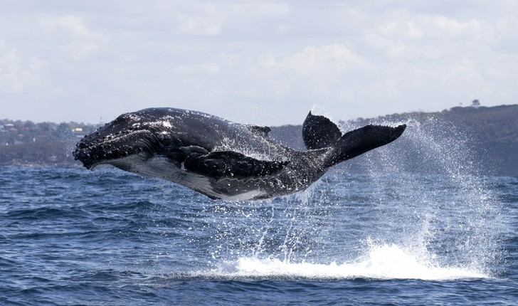 Фото №1 - Большой прыжок маленького кита