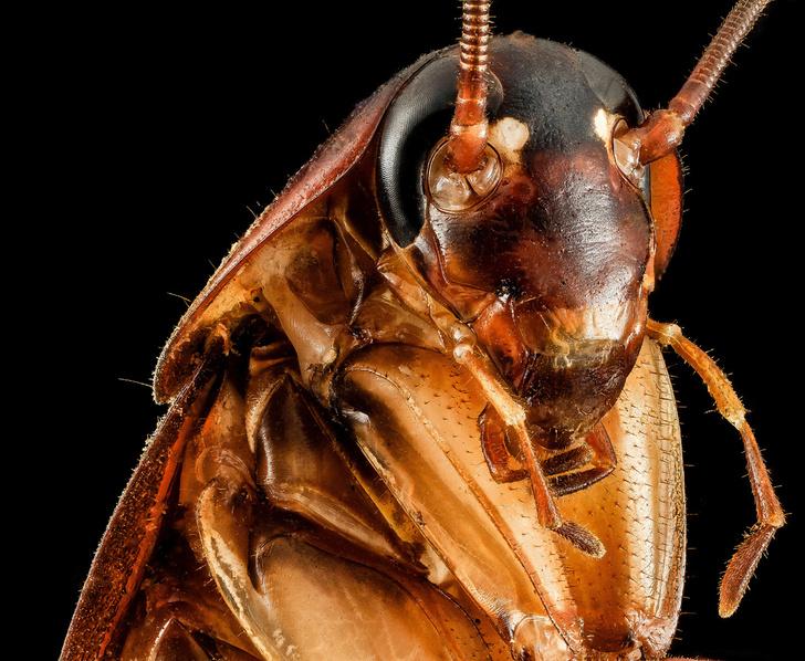 Фото №1 - Доктор зло: почему ни высокие технологии XXI века, ни опыт поколений не помогли истребить тараканов