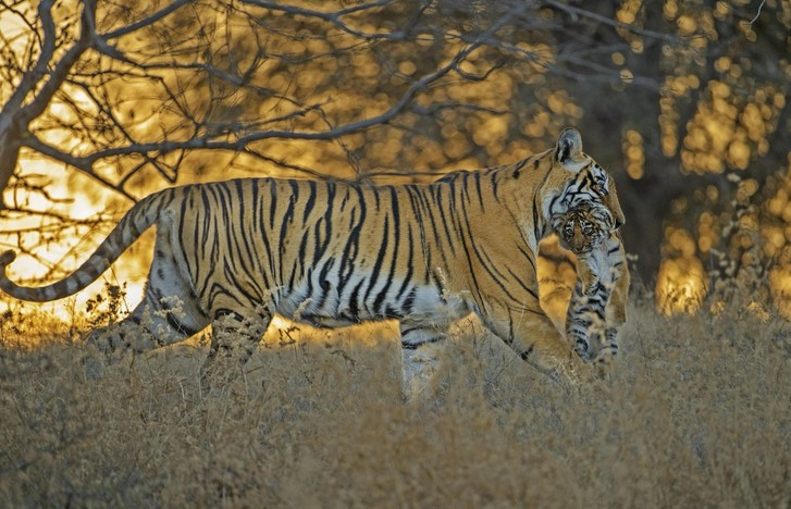 Фото №1 - Тигр с детенышем