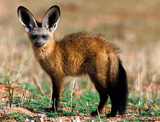 Фото №1 - Большеухая лисица