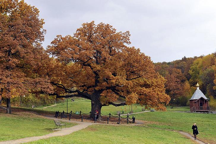 Фото №11 - Деревянные выборы: самые интересные деревья мира