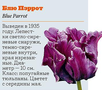 Фото №13 - Самые популярные сорта тюльпанов