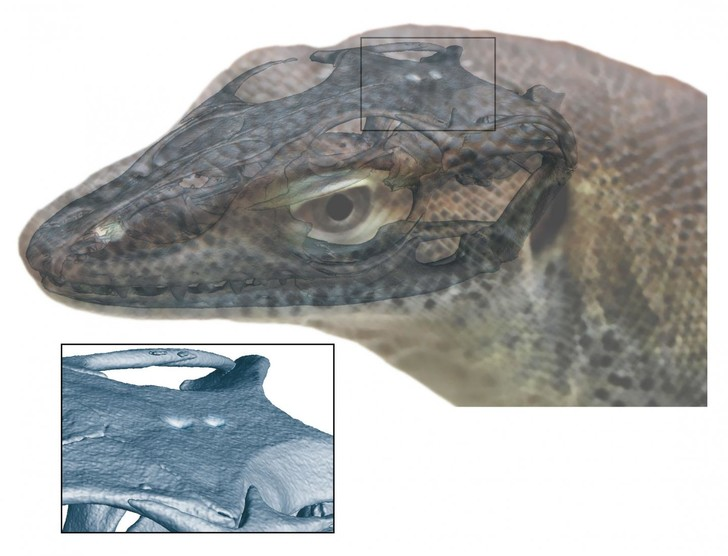 Фото №1 - Обнаружены останки четырехглазой ящерицы
