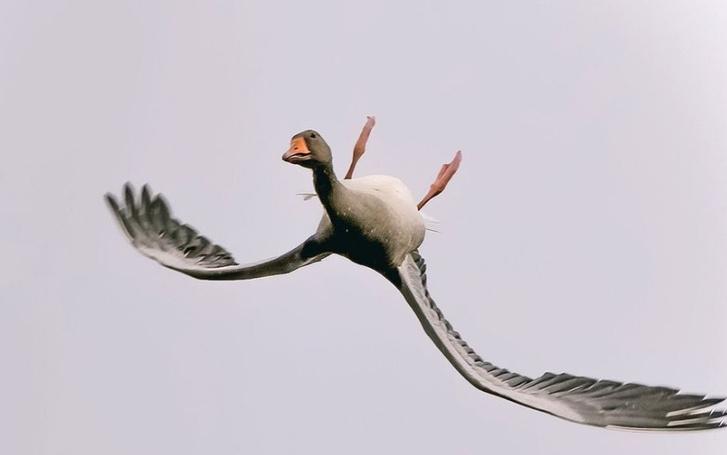 Фото №2 - Почему гуси летают вверх ногами?