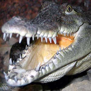 Фото №1 - Индийский лес будут охранять крокодилы
