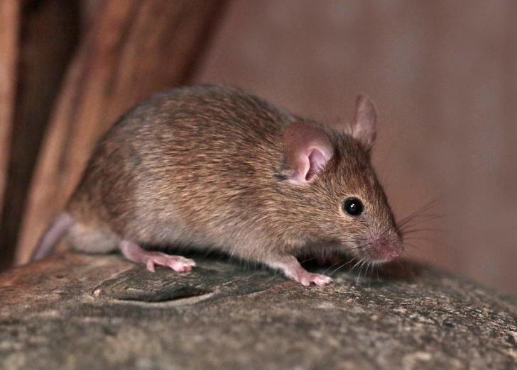 Фото №1 - Когда появились домовые мыши в Европе