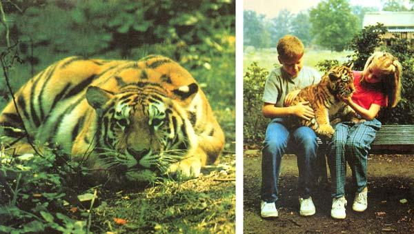 Фото №1 - Где живет тигр