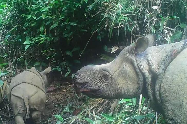 Фото №1 - В Индонезии сфотографировали детенышей редчайшего животного
