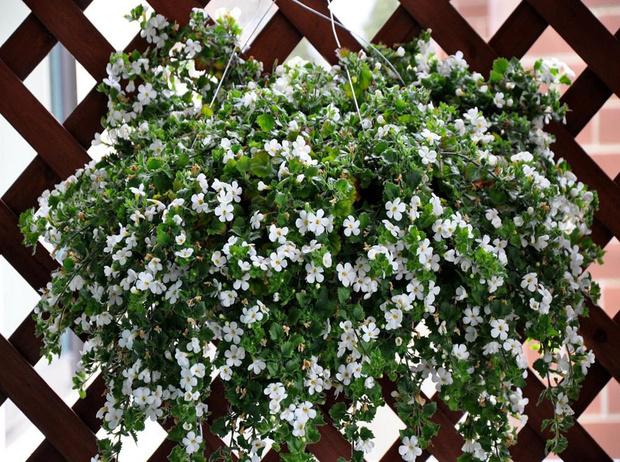 Фото №11 - 5 лучших растений для вертикального озеленения садового участка
