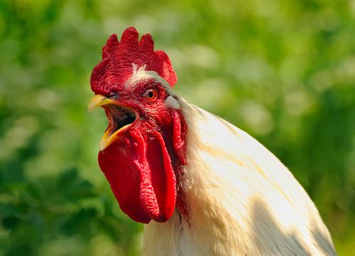 Зачем петухи кукарекают? | Публикации | Вокруг Света