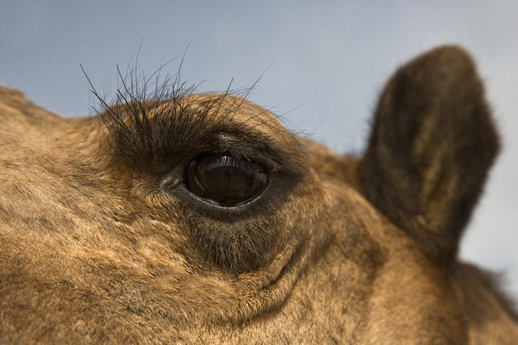 Фото №4 - Корабли пустыни: 7 поразительных фактов о верблюдах