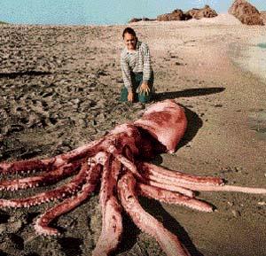Фото №1 - В Тирренском море поймали кальмара-гиганта