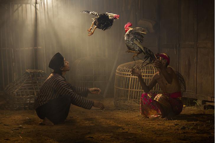 Фото №1 - Петушиный бой