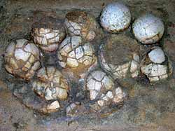 Фото №3 - Гадрозавры на Амуре