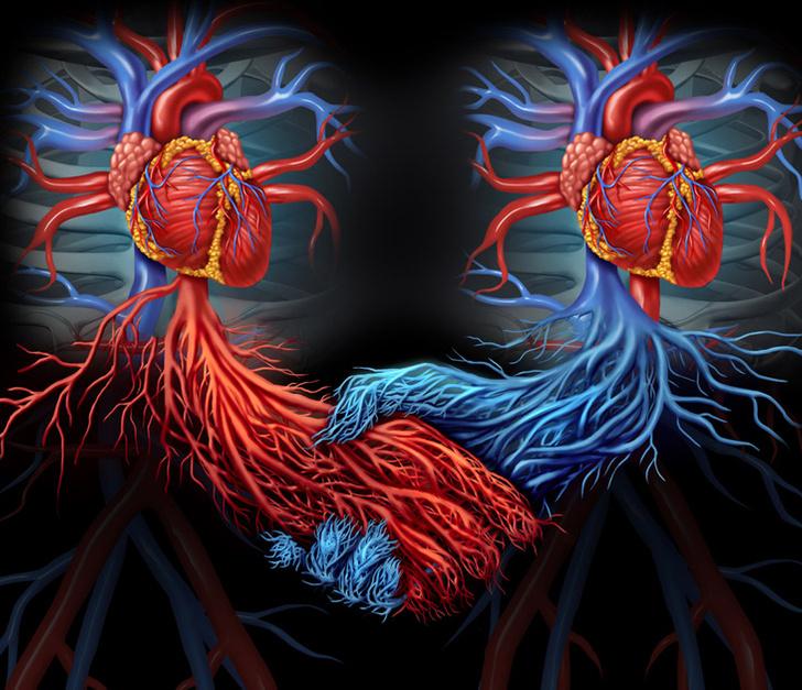 shutterstockСердце возникает из срастания двух парных зачатков. Если этот процесс почему-либо нарушается, каждый из зачатков может развиться в самостоятельное сердце. Как правило, эмбрион с такой особенностью гибнет еще до рождения из-за нарушений кровообращения, вызванных неслаженной работой двух сердец. Однако их обладатель может прожить и до старости. Кроме того, в исключительных случаях кардиохирурги пересаживают пациенту донорское сердце не вместо собственного, а в дополнение к нему, так что человек живет дальше с двумя сердцами.