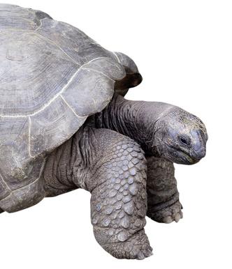 Фото №8 - Тише едешь— дольше будешь: долголетие и другие загадки гигантских черепах