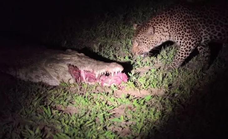 Фото №2 - Ловкий леопард украл еду прямо из пасти крокодила (видео)