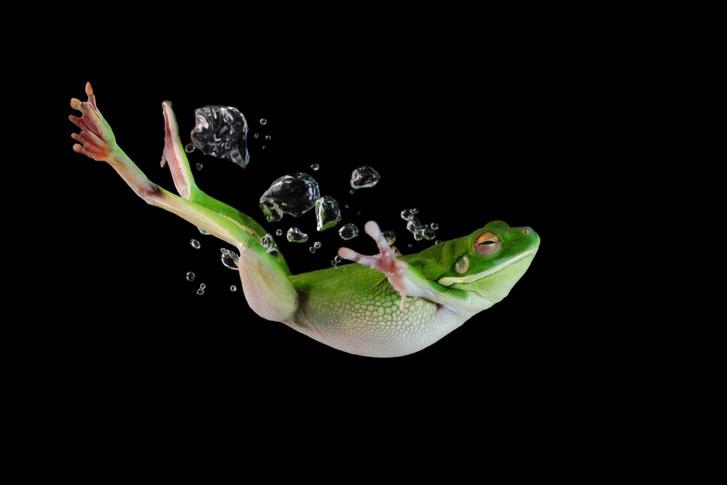 Фото №1 - Лягушка-пловчиха