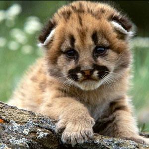 Фото №1 - Глобальное потепление убивает львов