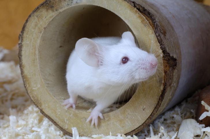 Фото №1 - Ученые частично вырастили ампутированные пальцы у мышей