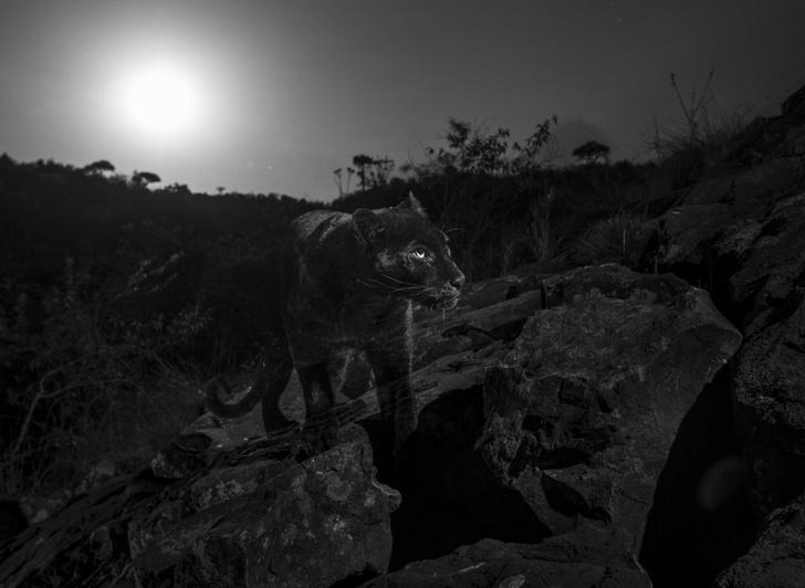 Фото №1 - Черная пантера