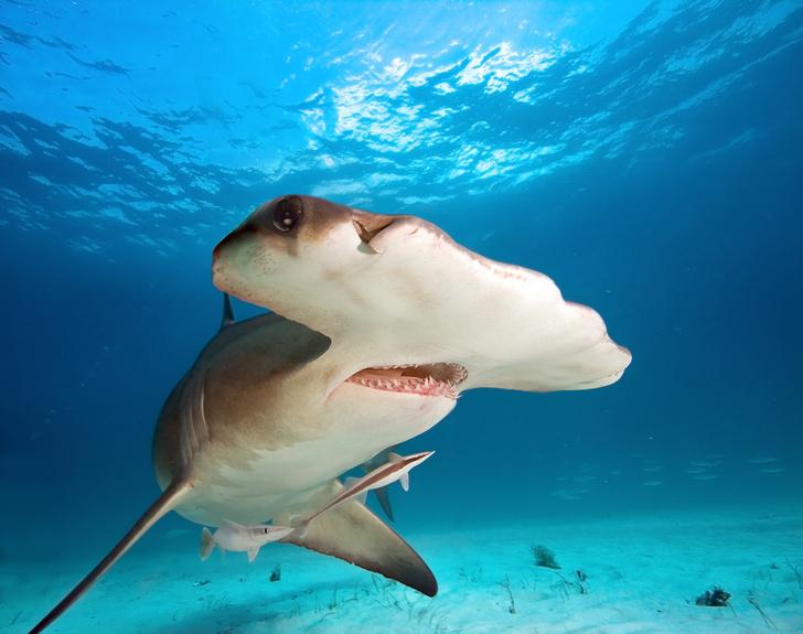 Фото №1 - Ученые объяснили, почему гигантская акула-молот плавает на боку