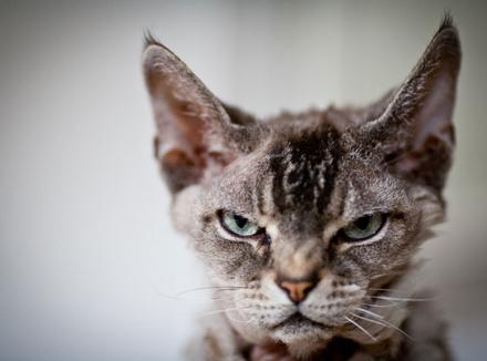Рассерженный кот
