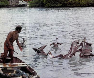 Фото №5 - Про краснозобых фрегатов, остров «голубых лапок» и «аквариум Айялы»